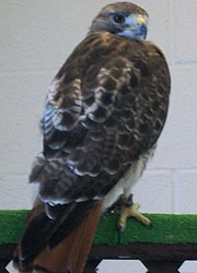[photo, Red-tailed Hawk at Maryland State Fair, Timonium, Maryland]