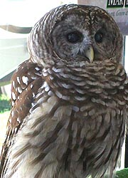 [photo, Barred Owl at Maryland State Fair, Timonium, Maryland]
