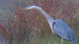 [photo, Great Blue Heron (Ardea herodias), New Germany State Park, Grantsville, Maryland]