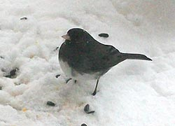 [photo, Dark-eyed Junco (Junco hyemalis), Baltimore, Maryland]