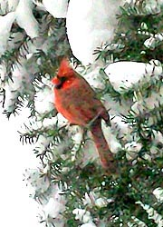 [photo, Northern Cardinal (Cardinalis cardinalis), Baltimore, Maryland]