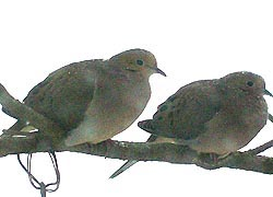 [photo, Mourning Doves (Zenaida macroura), Baltimore, Maryland]