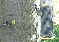 [photo, Goldfinches (Carduelis tristis), Baltimore, Maryland]