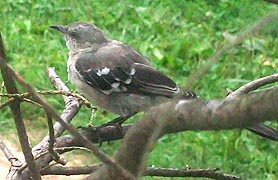 [photo, Northern Mockingbird (Mimus polyglottos), Baltimore, Maryland]