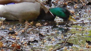 [photo, Male Mallard (Anas platyrhynchos), Annapolis, Maryland]