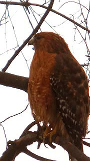 [photo, Red-shouldered Hawk (Buteo lineatus), Annapolis, Maryland]