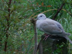 [photo, Eurasian Collared-Dove (Streptopelia decaocto), Glen Burnie, Maryland]