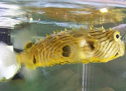 [photo, Striped Burrfish, Visitors Center, Assateague Island National Park Seashore (Worcester County), Maryland]