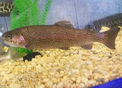 [photo, Rainbow Trout (Oncorhynchus mykiss), Dept. of Natural Resources exhibit, Maryland State Fair, Timonium, Maryland]