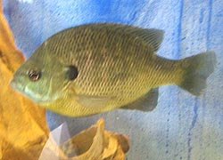 [photo, Bluegill (Lepomis macrochirus), Dept. of Natural Resources exhibit, Maryland State Fair, Timonium, Maryland]
