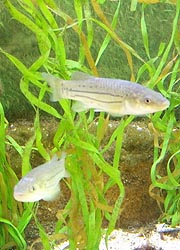 [photo, Striped Killifish (Fundulus majalis), Assateague Island Visitor Center, Maryland District, 11800 Marsh View Lane, Berlin, Maryland]