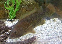 [photo, Tautog (Tautoga onitis), Assateague Island Visitor Center, Maryland District, 11800 Marsh View Lane, Berlin, Maryland]
