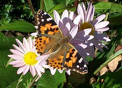 [photo, American Lady butterfly (Vanessa virginiensis) on chrysanthemum, Monkton (Baltimore County), Maryland]
