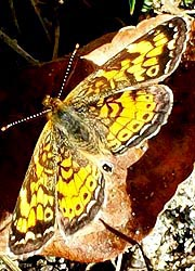 [photo, Pearl Crescent butterfly (Phyciodes tharos), Monkton, Maryland]
