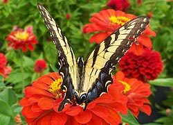 [photo, Eastern Tiger Swallowtail butterfly (Papilio glaucus), Monkton, Maryland]