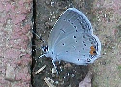 [photo, Eastern-tailed Blue butterfly (Cupido comyntas), Baltimore, Maryland]