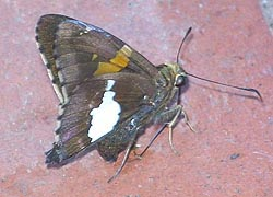 [photo, Silver-spotted Skipper butterfly (Epargyreus clarus), Baltimore, Maryland]