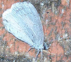 [photo, Spring Azure (Celastrina ladon) butterfly, Baltimore, Maryland]