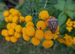 [photo, Brown Marmorated Stink Bug (Halyomorpha halys) on Tansey, Glen Burnie, Maryland]