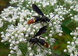 [photo, Blue-Winged Wasps (Scolia dubia), Glen Burnie, Maryland]