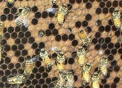 [photo, Honeybees in a honeycomb, Crownsville, Maryland]