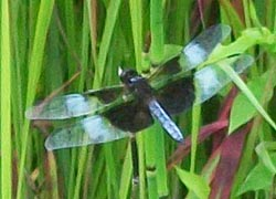 [photo, Widow Skimmer (Libellula luctuosa) dragonfly, Monkton, Maryland]