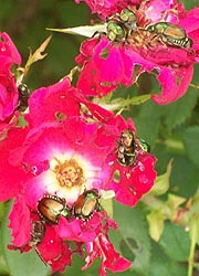 [photo, Japanese Beetles (Popillia japonica) eating roses, Monkton, Maryland]