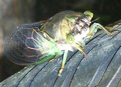 [photo, Cicada (Auchenorrhyncha), Baltimore, Maryland]