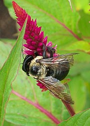 [photo, Bumblebee (Bombus), Thurmont, Maryland]