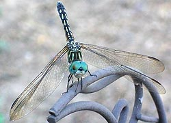 [photo, Blue Dasher Dragonfly (Pachydiplax lonipennis), Baltimore, Maryland]