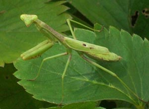 [photo, Carolina Mantid (Stagmomantis carolina), Baltimore, Maryland]