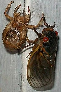 [photo, Cicada (Cicadoidea) and its exuvia (exoskeleton), Baltimore, Maryland]