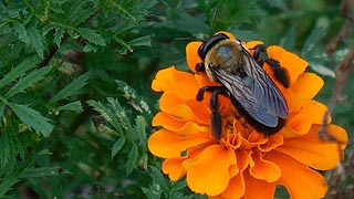 [photo, Carpenter bee (ylocopa virginica) on Mexican sunflower, Kinder Farm Park, Millersville, Maryland]