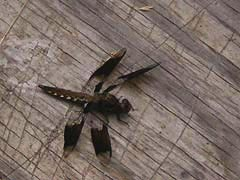 [photo, Dragonfly, Glen Burnie, Maryland]