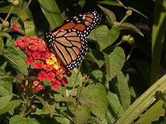 [photo, Monarch butterfly (Danaus plexippus), Annapolis, Maryland]
