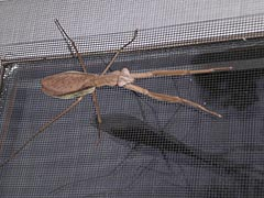 [photo, Brown Mantis on screen, Glen Burnie, Maryland]