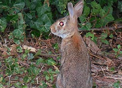 [photo, Eastern Cottontail Rabbit, Annapolis, Maryland]
