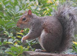 [photo, Eastern Gray Squirrel, Glen Burnie, Maryland]