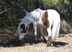 [photo, Feral horse [Assateague pony], Assateague Island National Park Seashore (Worcester County), Maryland]