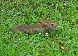 [photo, Eastern Cottontail Rabbit, Glen Burnie, Maryland]