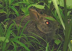 [photo, Eastern Cottontail Rabbit (Sylvilagus floridanus), Glen Burnie, Maryland]