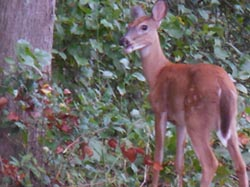 [photo, White-tailed Deer, Glen Burnie, Maryland]