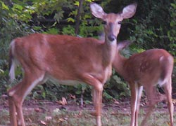 [photo, White-tailed Deer (Odocoileus virginianus), Glen Burnie, Maryland]