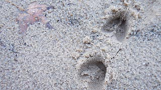 [photo, Deer tracks on sand, New Germany State Park, Grantsville, Maryland]
