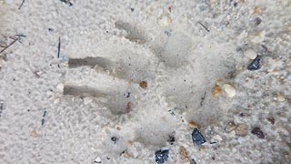 [photo, Bear track on sand, New Germany State Park, Grantsville, Maryland]