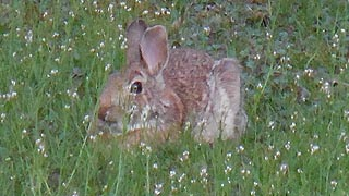 [photo, Eastern Cottontail Rabbit (Sylvilagus floridanus) in grass with early wildflowere, Glen Burnie, Maryland]