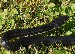 [photo, Eastern Ratsnake (Pantherosphis alleghaniensis), Glen Burnie, Maryland]
