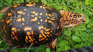 [photo, Eastern Box Turtle (Terrapene c. carolina), Glen Burnie, Maryland]