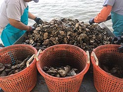 [photo, Culling through farm-raised oysters harvested from a shellfish lease, Maryland]