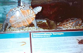 [photo, Diamondback Terrapins, Tawes State Office Building, 580 Taylor Ave., Annapolis, Maryland]
